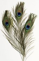 "Peacock Feathers - 12 Pack Assortments 35 to 40"" in length 4521"