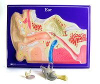 Ear Model Activity Set AEP-2650