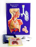 Respiratory System Model Activity Se Grades: 3 - 12 AEP2672