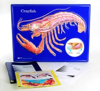 Crayfish Model Activity Set Grades: 5 - 12 AEP-2752