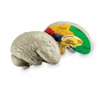 Soft Foam Cross-Section Human Brain Model LER 1903