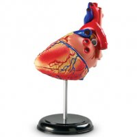 Heart Anatomy Model  LER 3334
