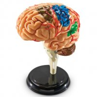 Brain Anatomy Model LER-3335