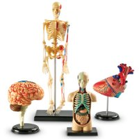 Anatomy Models Set Item LER 3338