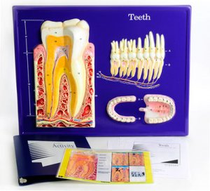 Tooth Model Activity Set Grades: 3 - 12 	  AEP - 2676